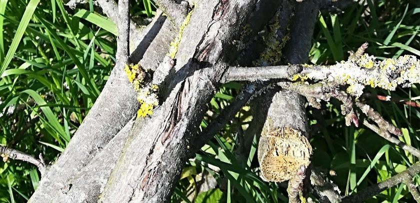 Altes Holz kann störrisch sein - und die Schnittleistung des Häcksler entsprechend abnehmen!